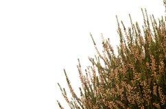 jesień tła wrzosu biel Obrazy Stock