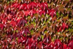 jesień tło kolor żółty gałęziastych jaskrawy kolorów złoty liść opuszczać klonowego pomarańczowej czerwieni słońca drzewa kolor ż Zdjęcia Stock