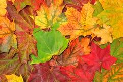 jesień tło opuszczać klonu Zdjęcia Stock