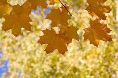 jesień ulistnienie Fotografia Royalty Free