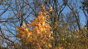 Jesień w forestYellow opuszcza przeciw niebieskiemu niebu zdjęcie wideo