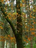 Jesień w froest, brąz opuszcza na drzewie przed zielonymi conifers Zdjęcie Royalty Free