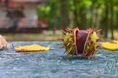 Jesień W lesie, kasztanu spadek Zdjęcie Royalty Free
