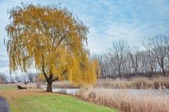 Jesień w miasto parku Żółty wierzbowy drzewo blisko rzeki Fotografia Stock