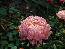 Jesień w ogródzie Wielki kwiat Astra w ranku słońcu z kroplami rosa na płatkach obrazy stock