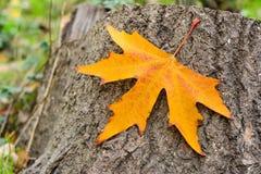 Jesień w parku, pojedynczy żółty liść Zdjęcia Royalty Free