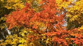 Jesień wiązy z czerwieni i koloru żółtego liśćmi zbiory