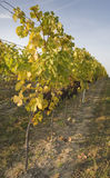 jesień winnica Zdjęcie Royalty Free