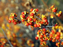 jesień winogrona Obraz Stock
