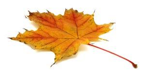 Jesień wysuszeni liść Fotografia Royalty Free