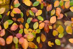 Jesień wzór z czerwienią, zielenią, i kolor żółty liść Fotografia Stock