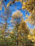 Jesień. Złociści modrzewi wierzchołki przeciw niebieskiemu niebu Zdjęcie Royalty Free
