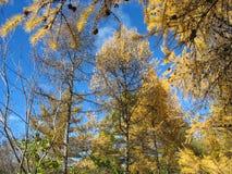 Jesień. Złociści modrzewi wierzchołki przeciw niebieskiemu niebu Zdjęcia Stock