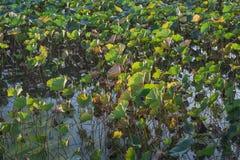Jesień z więdnącym lotosem troszkę obraz stock