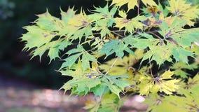 jesień zieleń opuszczać klonowego kolor żółty zdjęcie wideo