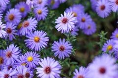 Jesie? aster szczeg??owy rysunek kwiecisty pochodzenie wektora Purpurowi jesie? kwiaty fotografia stock
