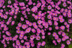 Jesień asteru odwiecznie purpury na zielonym tle Obrazy Stock