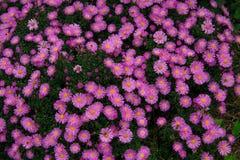 Jesień asteru odwiecznie purpury na zielonym tle Fotografia Stock