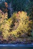 jesień brzoza Zdjęcie Royalty Free