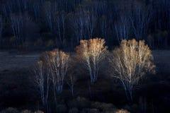 jesień brzozy las Zdjęcie Royalty Free