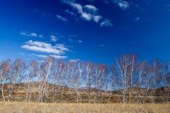 jesień brzozy las Fotografia Royalty Free