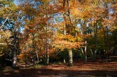Jesień buk Obrazy Royalty Free