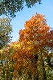 Jesień buk Zdjęcia Stock