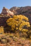 jesień cottonwood Fotografia Stock