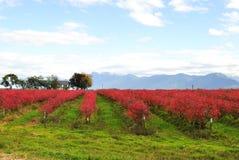jesień czarnej jagody pola Zdjęcia Royalty Free