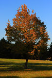 jesień drzewo Obrazy Stock