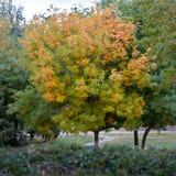 jesień drzewo Obraz Royalty Free