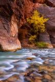Jesień Dziewicza rzeka w Zion parku narodowym Zio i przesmyki Zdjęcie Royalty Free