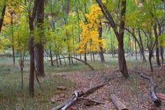 Jesień Dziewicza rzeka w Zion parku narodowym Zio i przesmyki Obraz Royalty Free