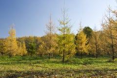 jesień futerka drzewo Zdjęcie Royalty Free