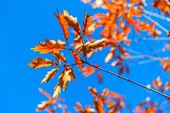 Jesień Halny kasztan przeciw niebieskiemu niebu Zdjęcia Royalty Free