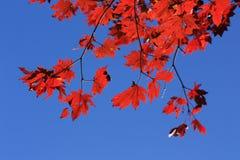 jesień klon obrazy stock