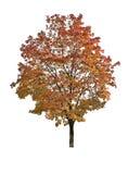 Jesień klon Obrazy Royalty Free