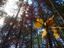 Jesień komesi Zdjęcia Stock