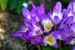 Jesień krokus Kwiat Zdjęcia Stock