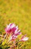 jesień krokusy Zdjęcie Stock