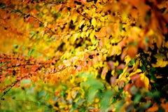 Jesień krzak Obraz Stock