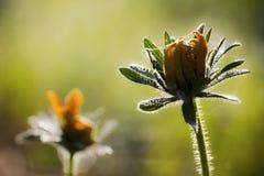 jesień kwiat Zdjęcie Stock