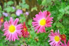 Jesień kwiat Zdjęcia Stock