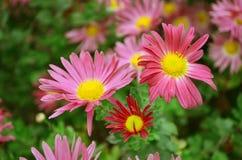 Jesień kwiat Obrazy Royalty Free
