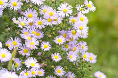 Jesień kwiaty Zdjęcia Stock