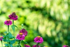 Jesień kwitnie w ogródzie Zdjęcia Stock