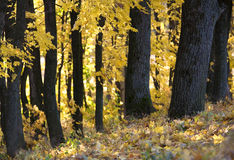 jesień las Obraz Royalty Free