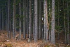 jesień lasu sosna Zdjęcie Stock