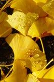 Jesień liści rosy krople Zdjęcie Royalty Free