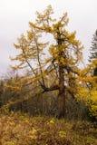 Jesień modrzew Obraz Stock